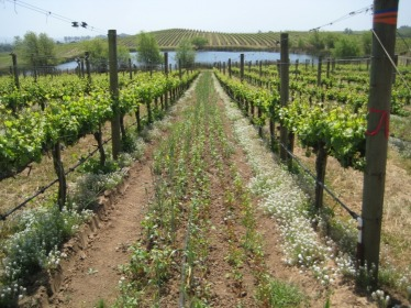Vineyard agroecology: allysum and buckwheat